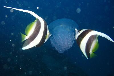 poisson cocher commun Chaetodontidae