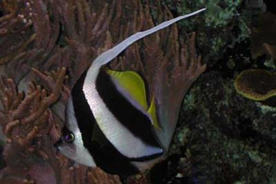 poisson cocher grégaire Chaetodontidae