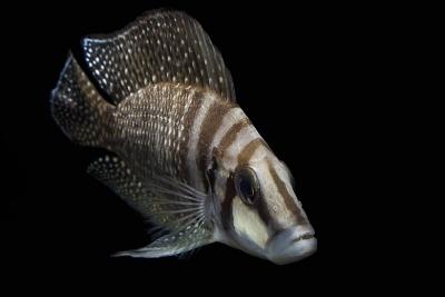 Calvus Cichlidae
