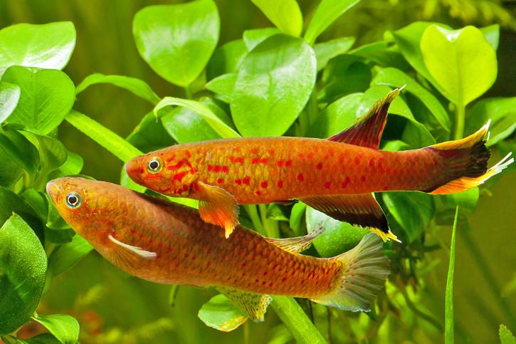 Aphyosemion australe - Cap Lopez
