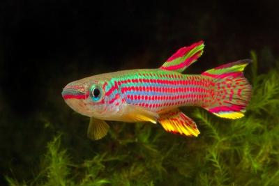 poisson du paradis ou killi rayé Nothobranchiidae