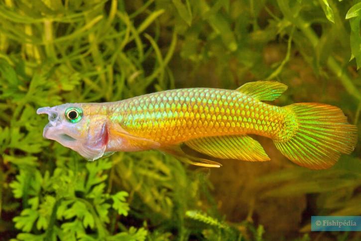 Aplocheilus lineatus - Panchax rayé