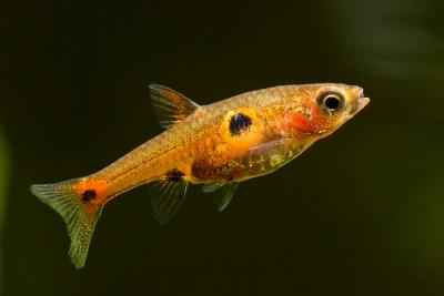 Boraras naevus Cyprinidae