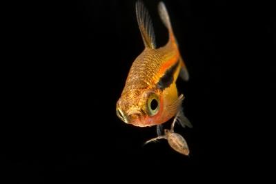 Boraras urophthalmoides Cyprinidae