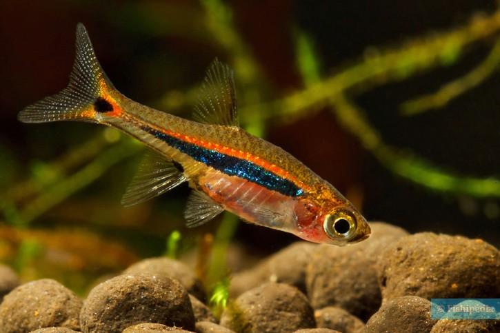 [ARTICLE] Quels poissons mettre dans un Nano-Aquarium  ? - Page 3 Boraras_urophthalmoides_6-725x483