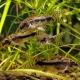 picture of Corydoras habrosus