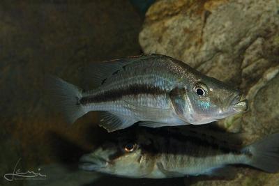 compressiceps Cichlidae