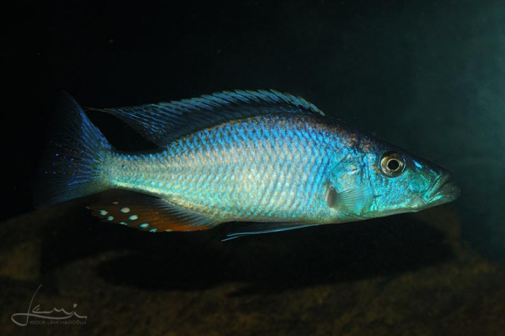 Dimidiochromis compressiceps - compressiceps