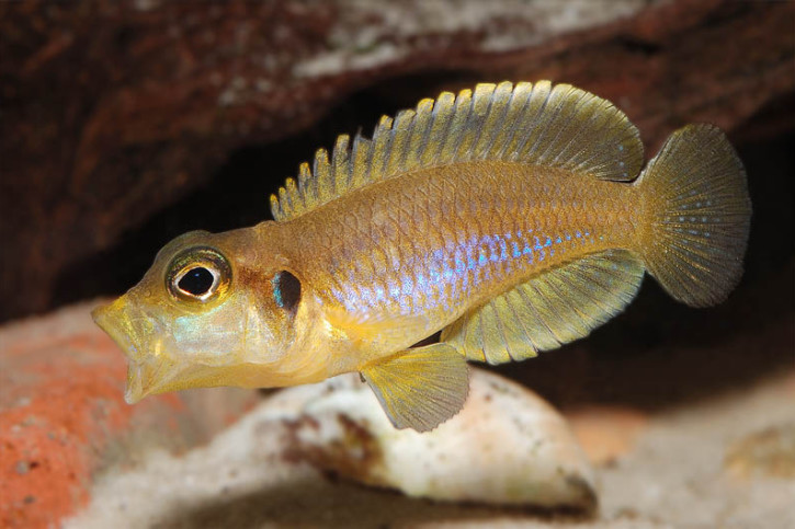 Lamprologus ocellatus - ocellatus