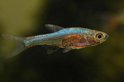 Rasbora axelrodi Cyprinidae