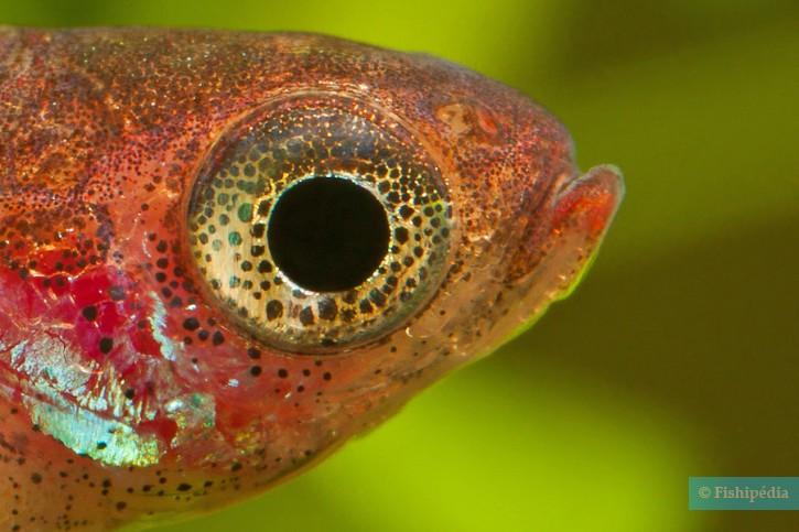 Boraras maculatus - rasbora nain