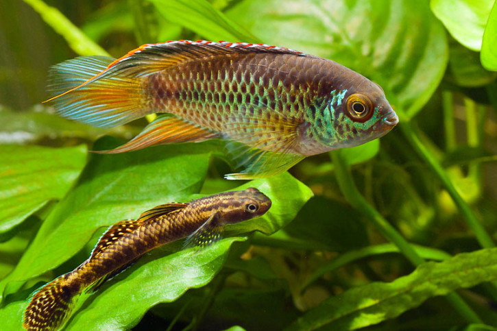 Nannacara anomala - cichlidé nain à oeil d'or