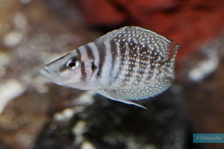 """Altolamprologus calvus """"White"""""""