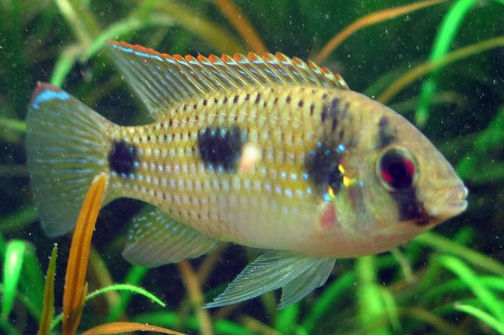 Anomalochromis thomasi - poisson papillon africain
