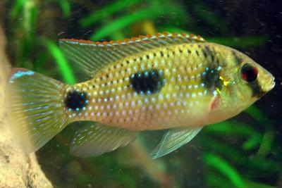 poisson papillon africain Cichlidae