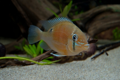 Biotodoma cupido Cichlidae