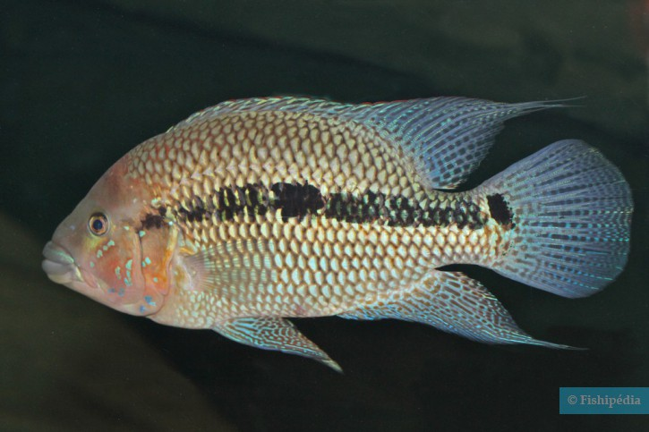 Kronoheros umbriferus