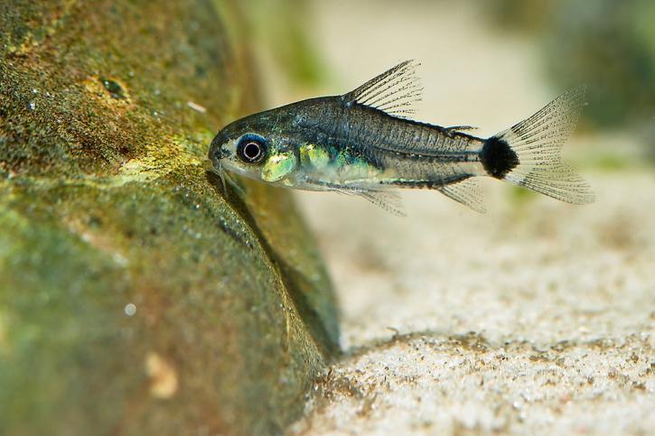 Corydoras hastatus - Corydoras nain