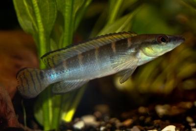 compressiceps nain Cichlidae