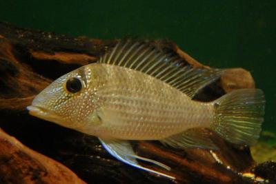 Satanoperca leucosticta Cichlidae
