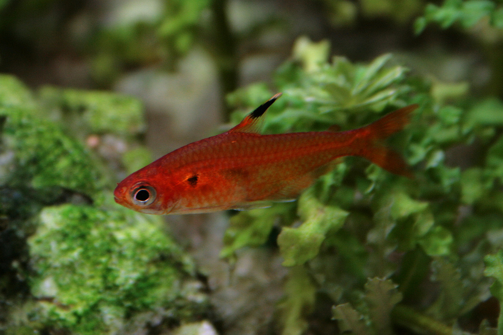 Araguaia rouge hyphessobrycon haraldschultzi t tra for Poisson tetra rouge