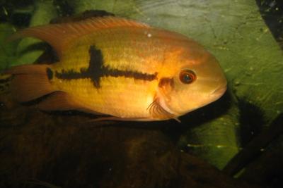 cichlidé émeraude Cichlidae