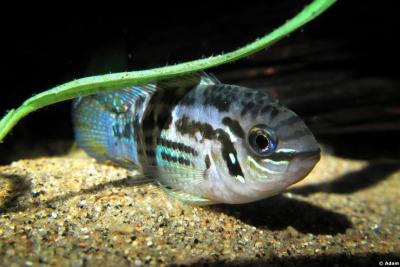 Laetacara araguaiae Cichlidae