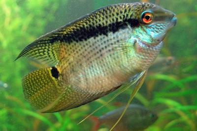 cichlidé drapeau Cichlidae