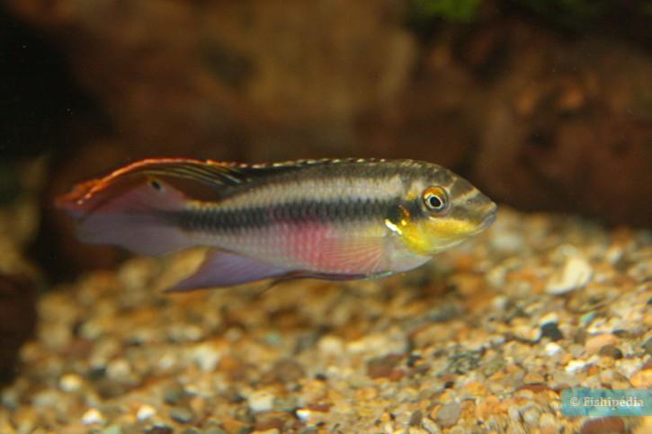 Pelvicachromis pulcher - pelmato
