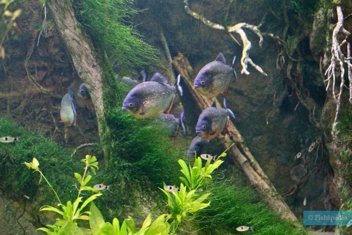 Pygocentrus nattereri - piranha à ventre rouge