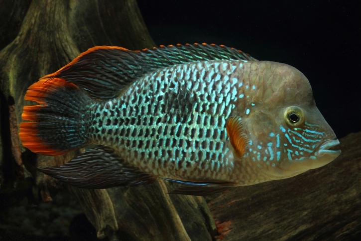Andinoacara rivulatus - terreur verte