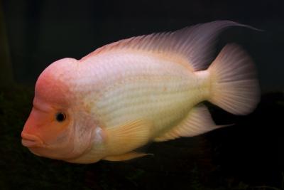 Citrinellum Cichlidae