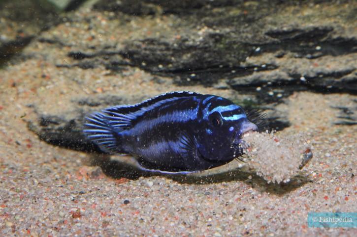 Pseudotropheus cyaneorhabdos - Maingano