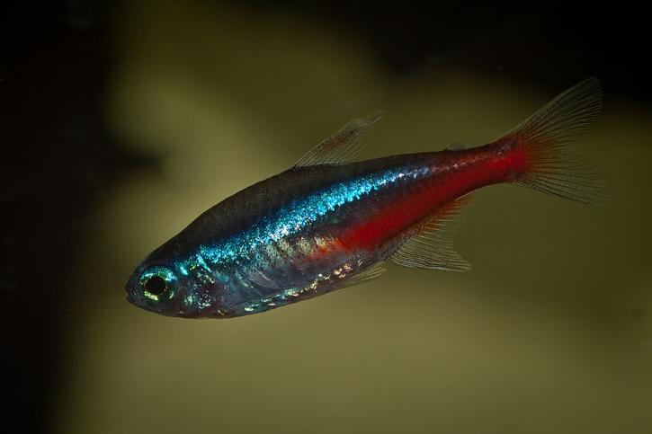 Paracheirodon innesi - néon bleu
