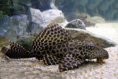 pléco léopard Loricariidae