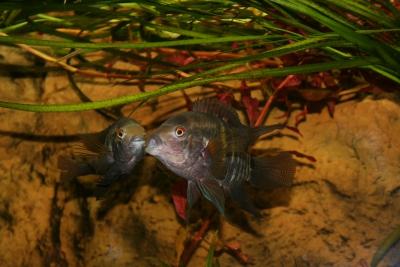Acara vert Cichlidae