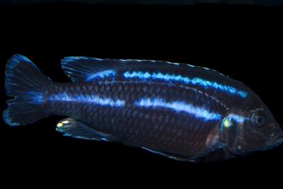 Melanochromis loriae Cichlidae