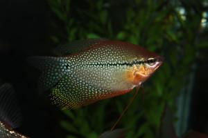 Trichopodus leerii