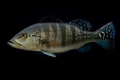 Cichla piquiti Cichlidae