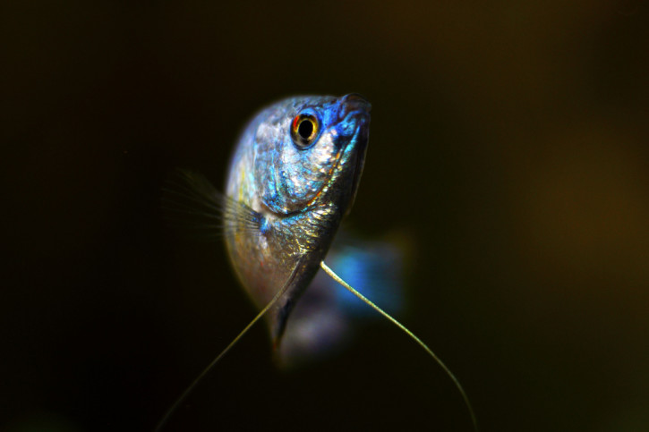 Trichogaster lalius - Colisa lalia