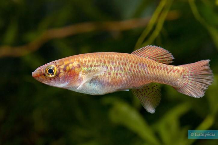 Fundulopanchax deltaensis
