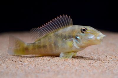 Retroculus lapidifer Cichlidae