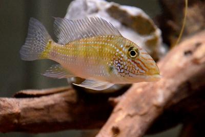 Jurupari Cichlidae