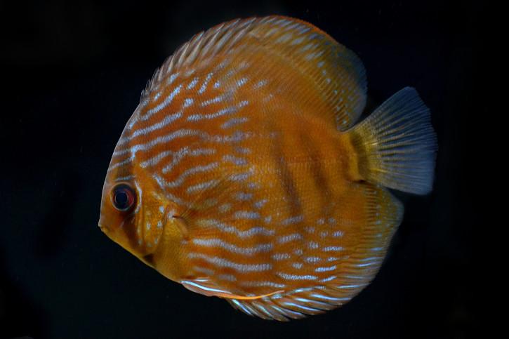 Symphysodon aequifasciatus
