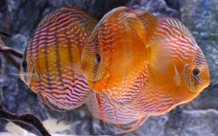 Discus proche sauvage - Symphysodon aequifasciatus
