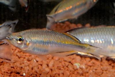Bedotia madagascariensis Bedotiidae
