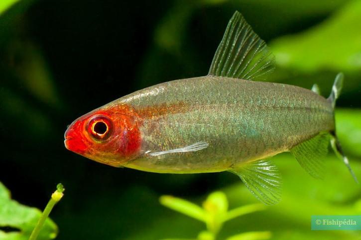 Hemigrammus bleheri - nez rouge