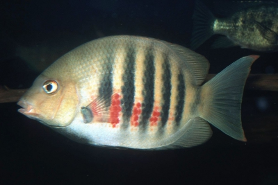 Paretroplus maromandia Cichlidae