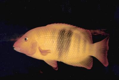 Paretroplus nourissati Cichlidae