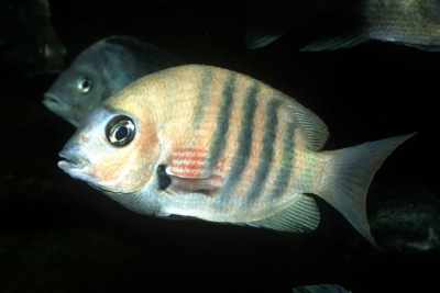"Paretroplus aff. maromandia ""Andraponjy"" Cichlidae"